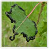 Sawfly larvae, Nematus sp. ?
