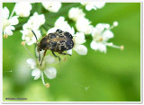 Pea and Bean Weevils (Family: Chrysomelidae, Subfamily: Bruchinae)