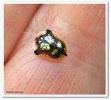 Mottled tortoise beetle (Deloyala guttata)