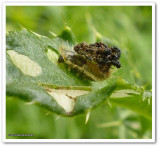 Green tortoise beetle larva (Cassida)
