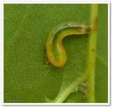 Sawfly larva (Caliroa obsoleta)