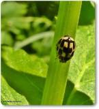 Fourteen spotted lady beetle (Propylea quatuordecimpunctata)