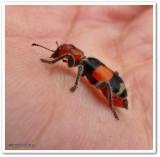 Checkered beetle (Enoclerus muttkowskii)