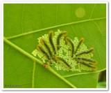 Sawfly larvae (Caliroa obsoleta)