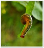 Sawfly larva, possibly Pristophora sp.