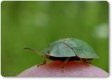 Green tortoise beetle  (Cassida)