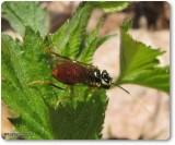 Sawfly (Onycholyda luteicornis)