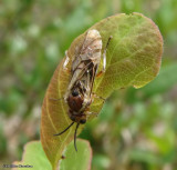 Sawfly (Zaschizonyx montana)