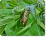 Leafhopper (Aphrodes)