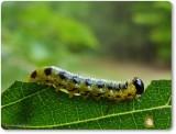 Dusky birch sawfly larva (Craesus latitarsus)
