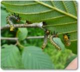 Birch sawfly larvae (Arge pectoralis)