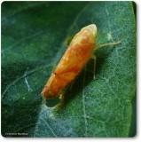Leafhopper (Bandara sp.)