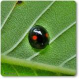 Ladybeetle (Chilocorus sp.)