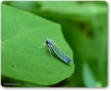 Leafhopper (Tylozygus bifidus)