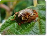 Russett alder leaf beetle (Calligrapha alni)