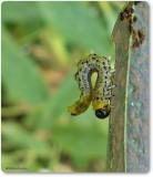 Argid Sawfly larvae on willow