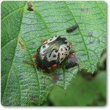 Calligraphic Beetle (Calligrapha confluens)