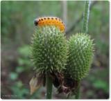 Poplar Sawfly larva (Trichiocampus)