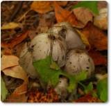 Coprinus Mushrooms
