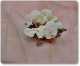 Bladder fungus (Physalacria inflata)