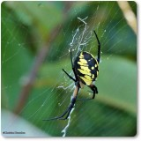 Black and yellow argiope, female (Argiope aurantia)