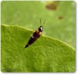 Rove beetle (Lordithon sp.)