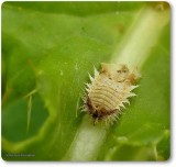 Green tortoise beetle larva  (Cassida sp.)