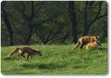 The three foxes