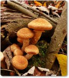 Honey mushrooms?