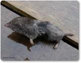 Short-tailed shrew ( Blarina brevicauda)