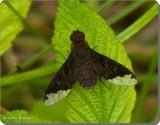 Bee fly (Hemipenthes webberi)