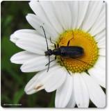 Flower longhorn beetle  (Anoplodera pubera)