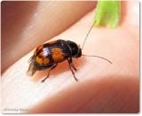 Case-bearing leaf-beetle (Bassareus)