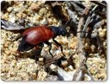 Blister beetle (Tricrania sp.)