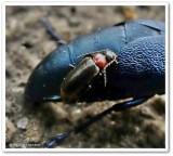 Blister beetle (Meloe sp.) with Pedilus beetle