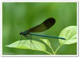 River jewelwing  (Calopteryx aequabilis)