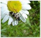 Longhorn beetle (Judolia)