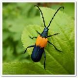 Elderberry borer (Desmocerus palliatus)