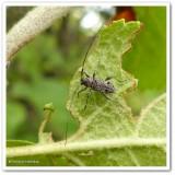 Longhorn beetle (Hyperplatys maculata)