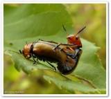 Clay-coloured leaf beetles (Anomoea laticlavia)