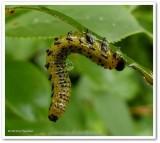 Argid sawfly larva on plum