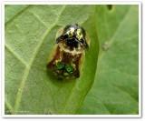 Mottled tortoise beetle (Deloyala guttata), mating  pair