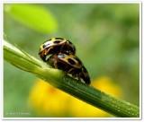 Fourteen-spotted ladybeetles Propylea quatuordecimpunctata)