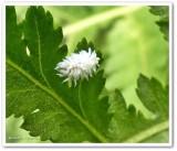 Lady beetle larva (Scymninae)