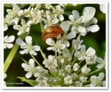 Tumbling flower beetle (Mordellidae)