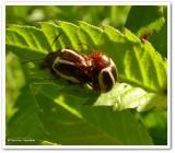 Calligraphic beetle (Calligrapha bidenticola)?