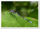 Variable (Violet) dancer (Argia fumipennis violacea)