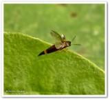 Rove beetle (Lordithon)