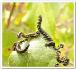 Sawfly larva (Nematus sp.)