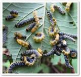 Dogwood sawfly larvae (Macremphytus)